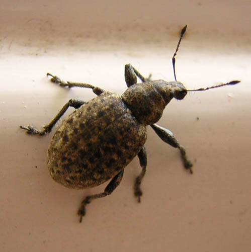 Flour bugs weevils - photo#18